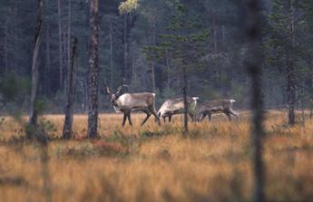 Metsäpeura viihtyy kesällä reheväkasvuisilla soilla. Kuva: Ari Meriruoko