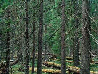 Syötteen vanhaa metsää. Kuva: Jorma Luhta