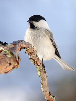 Willow Tit. Photo: Risto Puranen