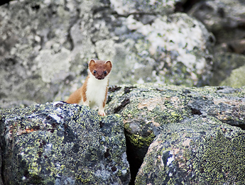 Stoat (Mustela erminea). Photo: Reijo Nenonen, vastavalo.fi