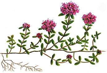 Kangasajuruoho (Thymus serpyllum). Piirros: Titta Jylhänkangas