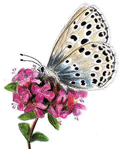 Kangasajuruoho (Thymus serpyllum) ja muurahaissinisiipi (Maculinea arion). Piirros: Titta Jylhänkangas
