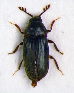 Lattavalekauniainen on noin neljän millimetrin mittainen kovakuoriainen, joka elää Linnansaaren kansallispuiston lehdoissa. Kuva: Metsähallitus/Jaakko Mattila