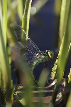 Heinäkuussa voi näköpiiriin sattua harvinainen viherukonkorento. Kuva: Rainer Rajakallio