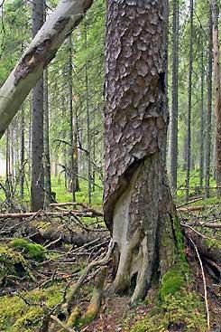 Pyhä-Häkissä puut saavat rauhassa kasvaa paksuutta. Kuva: Mikael Hintze