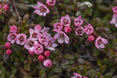 Closeup of creeping azalea (Kalmia procumbens) Photo: Tapio Tynys