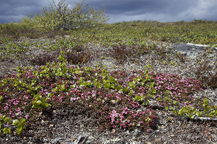 Low creeping azalea (Kalmia procumbens) glows in the middle of June. Photo: Tapio Tynys