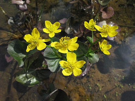 Marsh marigolds (Caltha palustris). Photo: Tapio Tynys