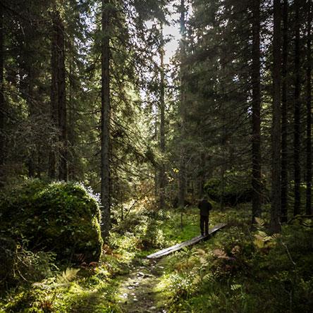 Paimenenpolulla patikoidaan myös varttuneissa kuusikoissa. Kuva  Juha  Kaipainen f9bd835970