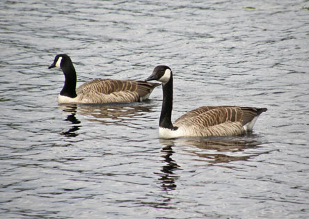 Canada geese on Lake Liesjärvi. Photo: Tero Laakso