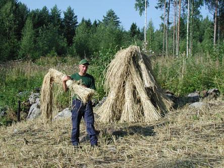 Viljan kuivattua kuhilaat puretaan ja viedään riihen puitaviksi. Kuva: Hanne Liukko