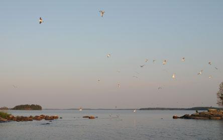 Lokkeja parveilemassa saaristossa. Kuva: Helinä Markkanen