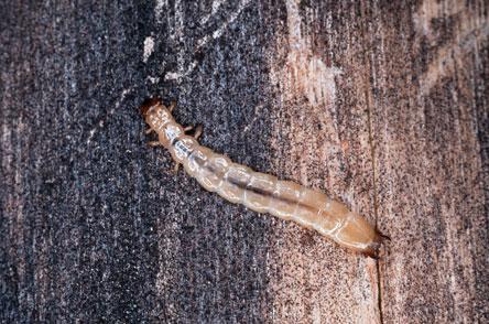 Lahokapon (Boros schneideri) toukka. Kuva: Petri Martikainen