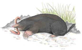Common mole (Talpa europaea). Photo: Titta Jylhäkangas