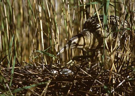 Kaulushaikara emo. Kuva: Seppo Utriainen
