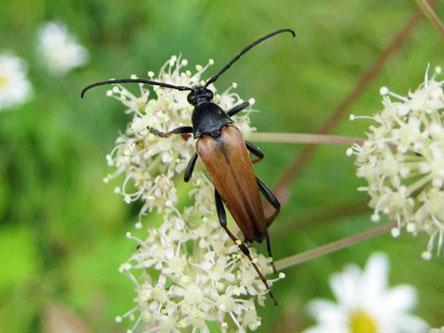 Karvakukkajäärän toukat elävät paahteisilla paikoilla lahoavien mäntyjen puuaineksella ja aikuiset syövät kukkien mettä ja siitepölyä. Kuva: Jaakko Mattila