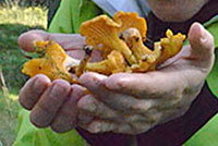 Chanterelles. Photo: Alina Tuomisto