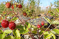 Wild strawberries. Photo: Lari Järvinen