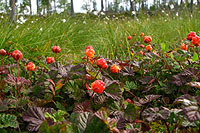 Cloudberries. Photo: Tapio Tynys