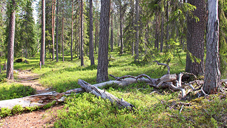 Old forest in Könkäänvaara hill. Image: Juha Paso