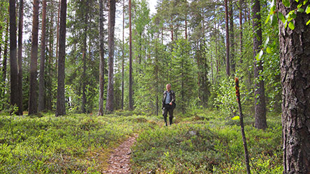 Forests in Sortovaara hill, on Pikkurompa Trail. Image: Juha Paso