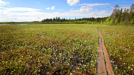 Flowering bogbean on Makialampi mire. Image: Juha Paso