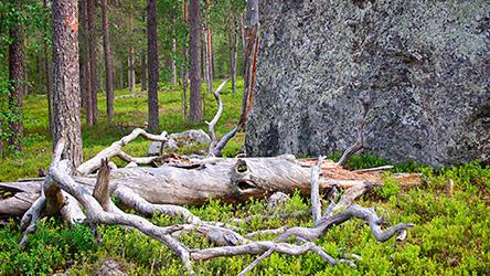 Old forest in Vaattunkivaara. Image: Juha Paso