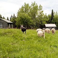 Sheep grazing at Rytivaara Crown Tenant Farm. Photo: Vesa Simonen