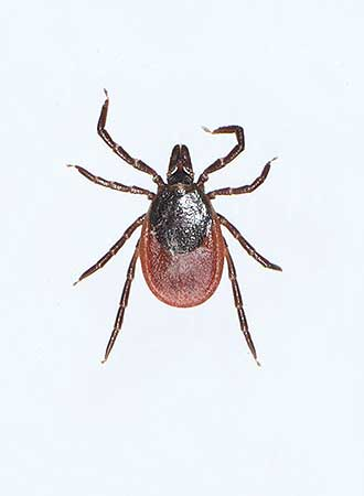 The castor bean tick (Ixodes ricinus). Photo: Teemu Rintala
