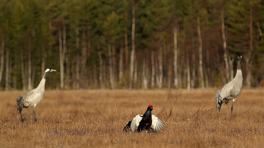 Black grouses and cranes in Valkmusa. Photo: Matti Pukki