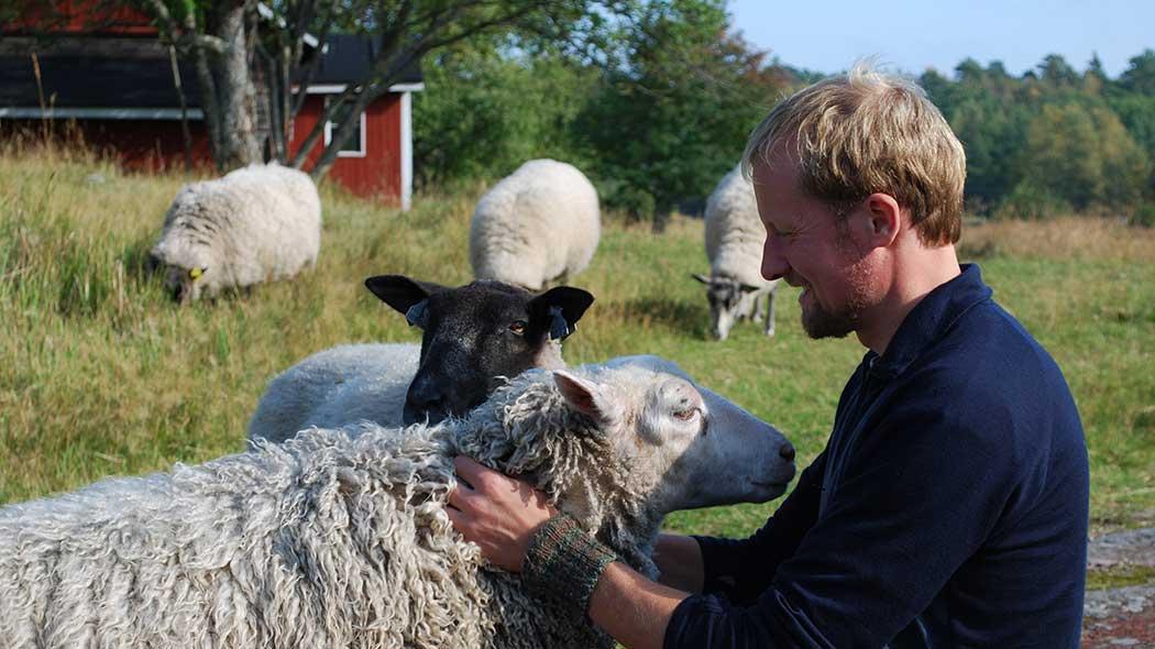 En besökare sittande på berget pajar två får som försöker komma i famnen. I bakgrunden tre andra får på bete samt gaveln av en gammal stuga.