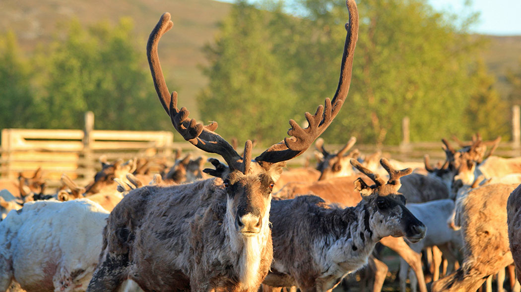 There are many structures and historical sites in the National Park related to reindeer husbandry. Photo: Annina Kivikari.