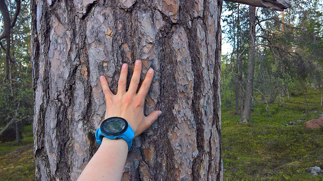 You can find a lot of old pines at Luostolta. Image: Anna Pakkanen