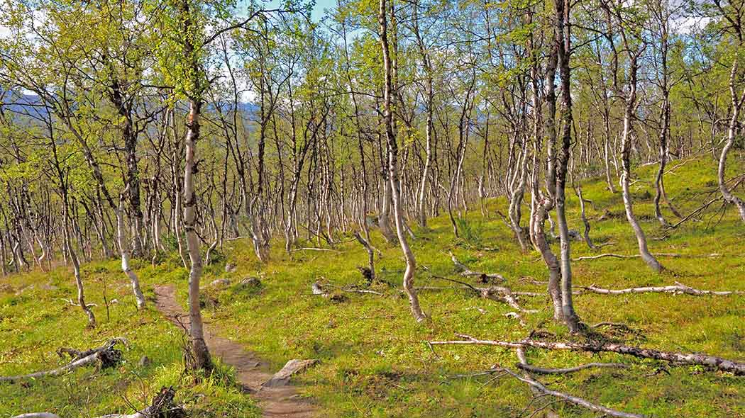 Trail in a forest of bright green Mountain Birches (Betula pubescens ssp. czerepanovii). Photo: Seija Olkkonen.