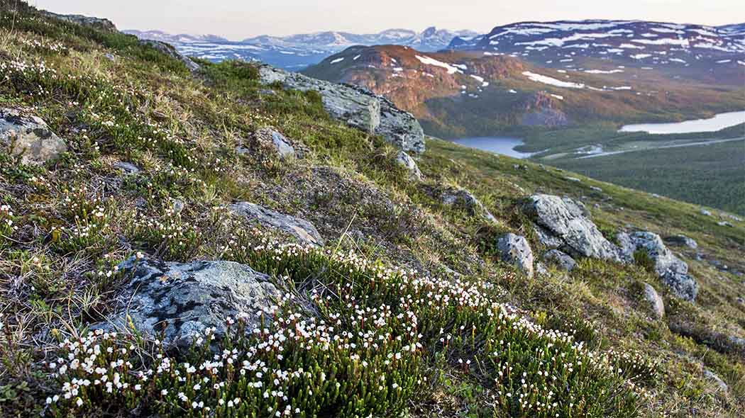 Arctic White Heather (Cassiope tetragona) grows in Finland on ten fells, most abundantly on the dry fell slopes and heaths of the alpine tundra zone. Photo: Seija Olkkonen.