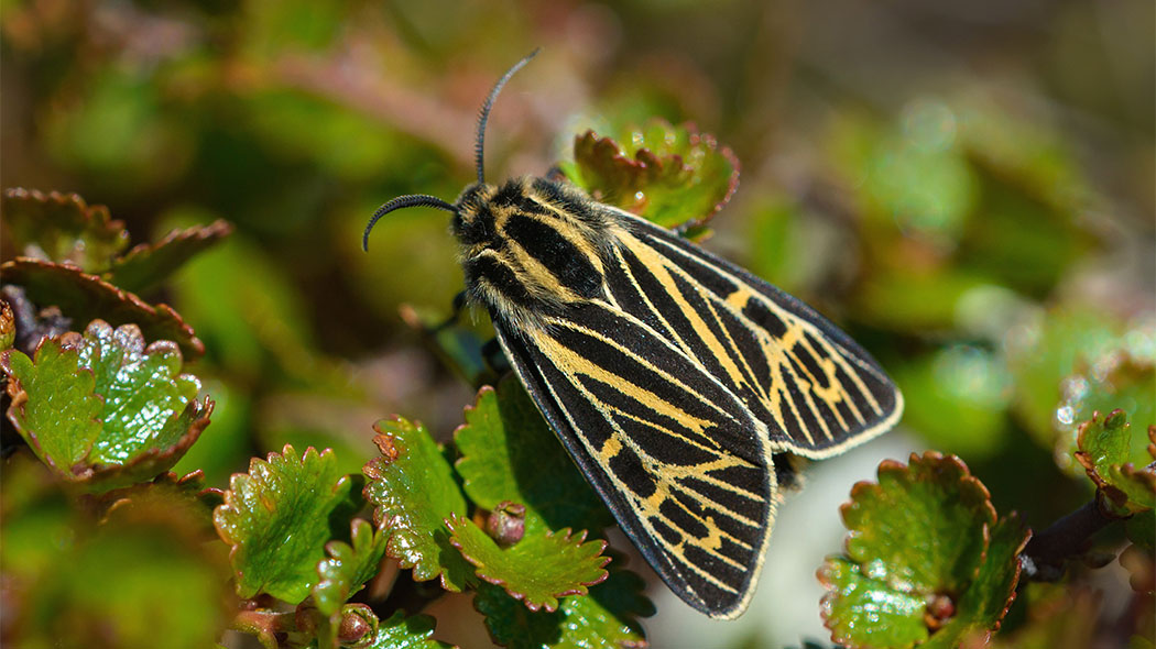 The Labrador tiger moth (Grammia quenseli) is found in Finland only in high fells. Is it in the logo of the Malla Strict Nature Reserve. Photo: Teppo Salmela.
