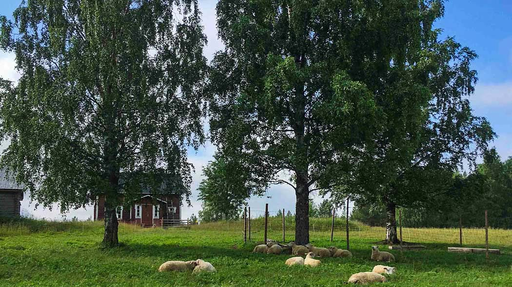 Sheep are lying in shadows of two old birches at the wilderness farm.