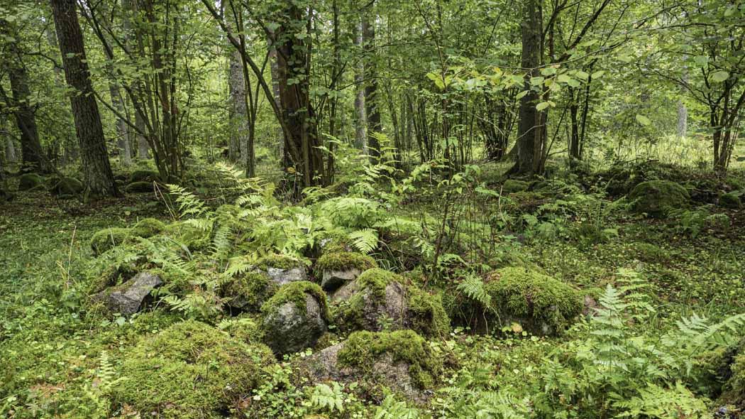Stenröse täckt av mossa i skogen.