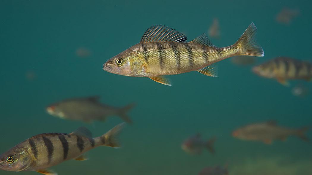 Katka on kalojen suurta herkkua fdf1e040bb
