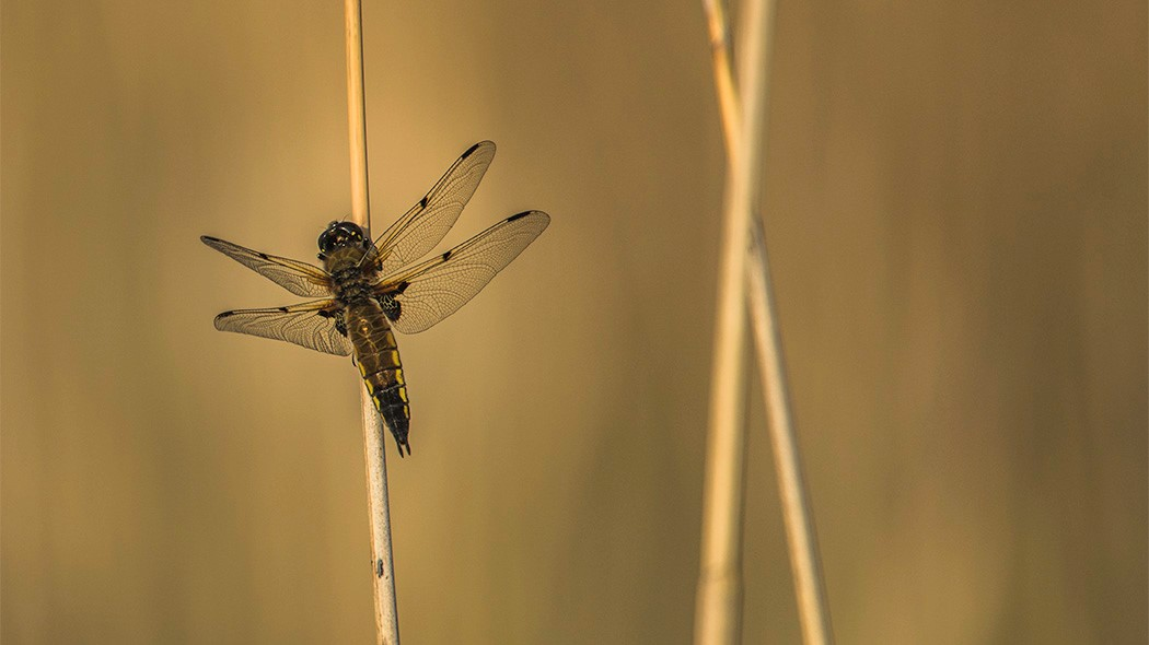 Four-spotted chaser. Photo: Tuija Waren