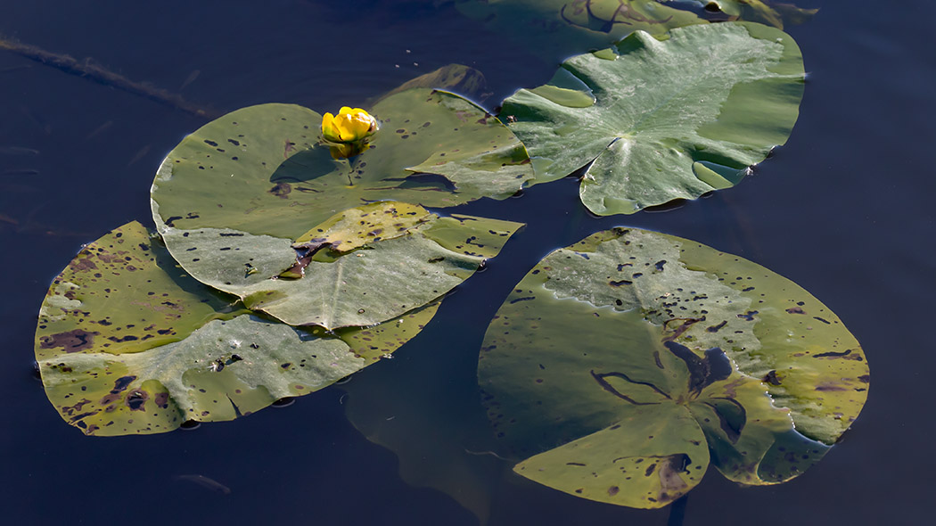 Waterlilies. Photo: Jari Kostet