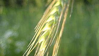 Liesjärven kansallispuiston tunnuksessa on ruiskaunokki ja rukiin tähkät.  Kuva  Aija Mäkinen 712259f2d8