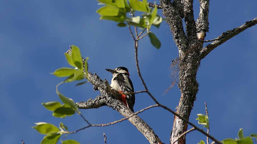 Great Spotted Woodpecker on Arctic Circle Hiking Area. Image: Juha Paso