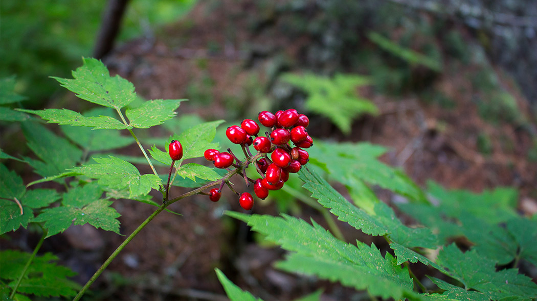 Red baneberry with it's luringly red berries. Image: Vesa-Matti Hillberg
