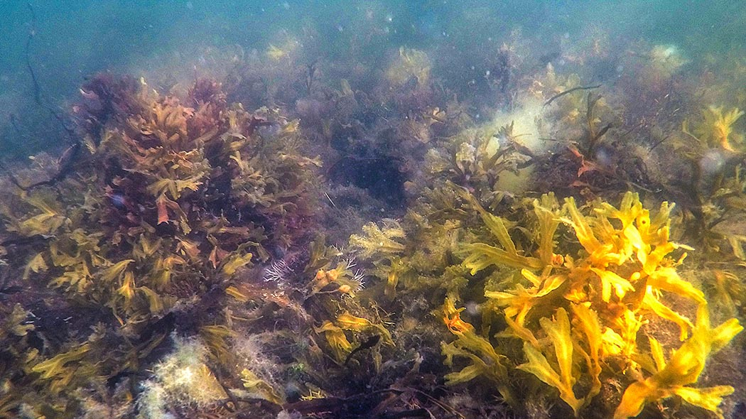 Bladderwrack growing beneath the water surface.