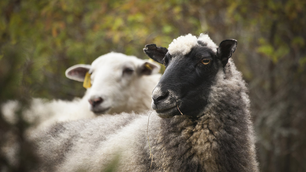 Close-up of two sheep.