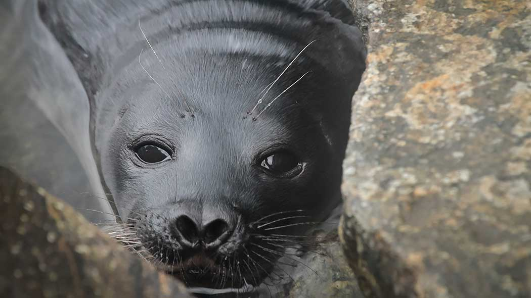 Close-up of a seal. The seal is looking directly at the camera with its nostrils flared.
