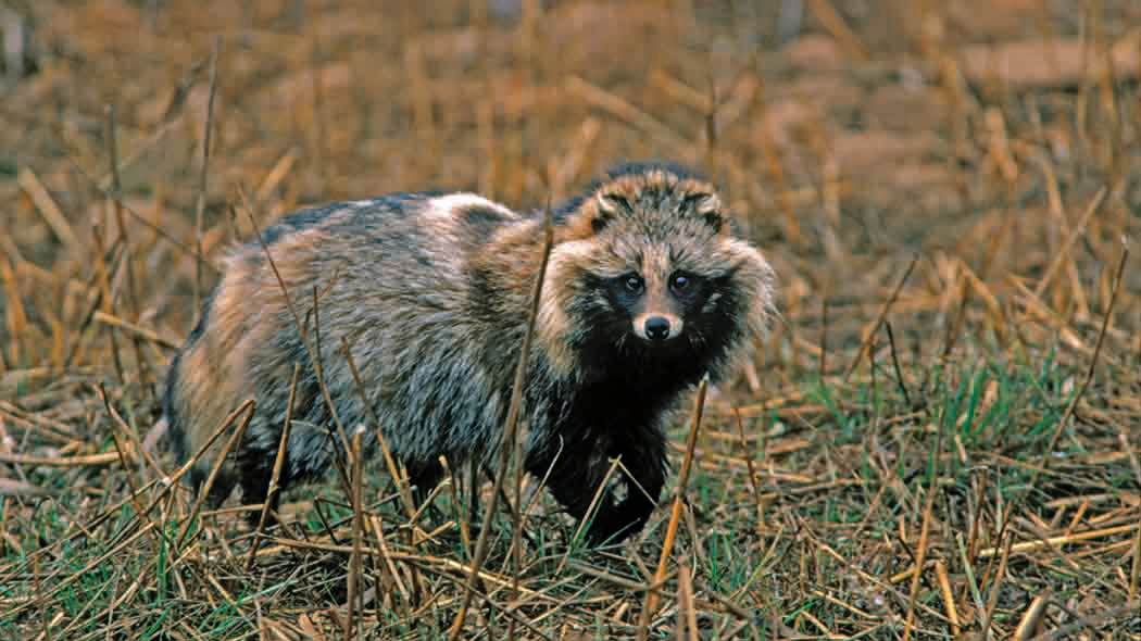 A raccoon dog in the reeds, with its gaze turned toward the photographer.