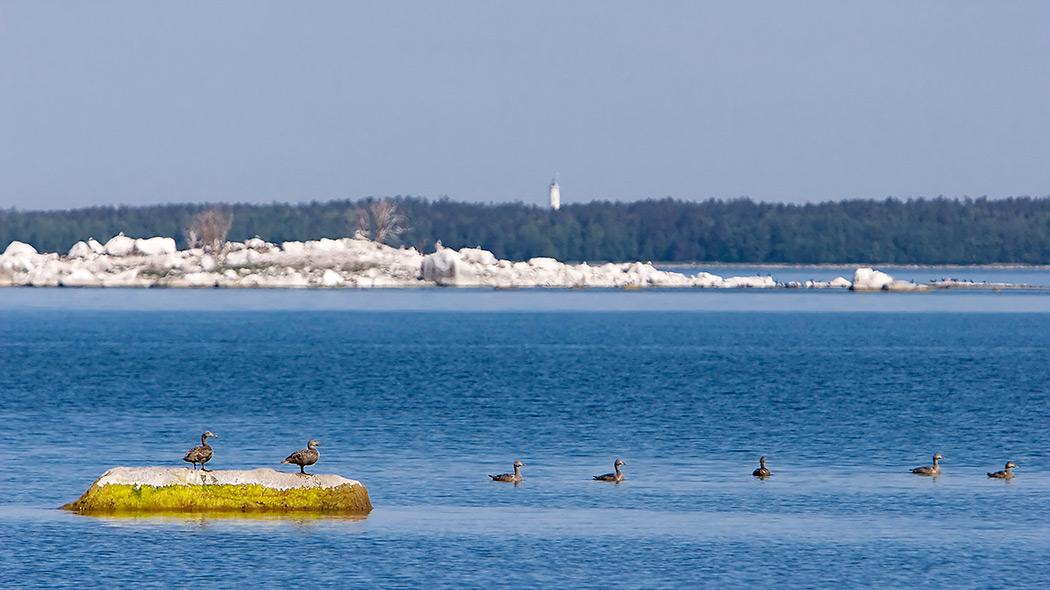 Fyra ejdrar i ett havslandskap. Två av ejdrarna står på en sten som tittar upp ur havet och två simmar bredvid. I bakgrunden finns en stenig holme.