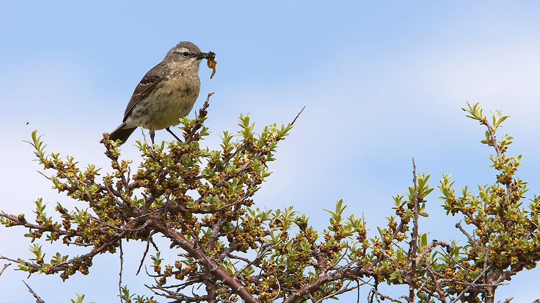 En liten fågel sitter på havtornsbuskens kvist. Fågeln har fångat en mask och håller den i sin näbb.